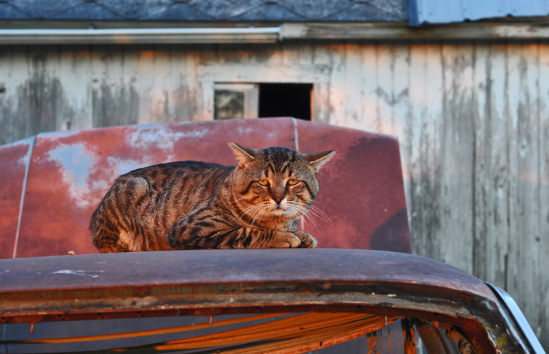 """cat on hot tin car"""