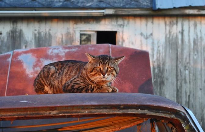 """""""cat on hot tin car"""""""